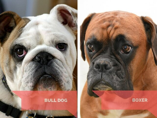 Boxer and Bulldog - do these dogs cry?