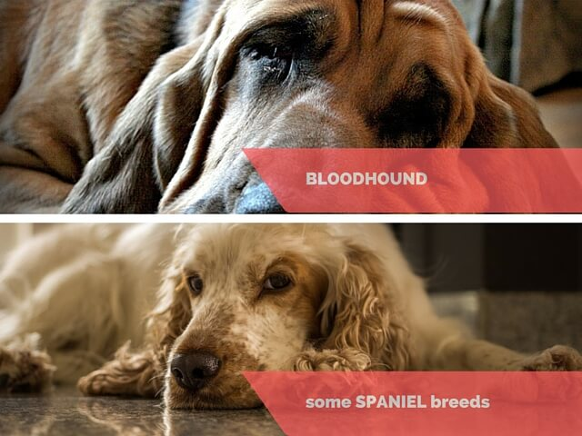 Bloodhound and Spaniels - do these dogs cry?