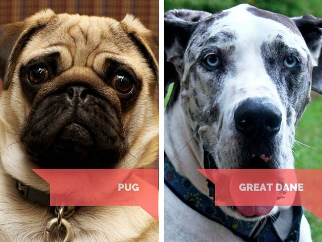 Pug - Great Dane - do these dogs cry?